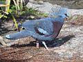 Victoria Crowned Pigeon RWD2.jpg