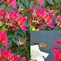 Vienna 2012-07-15 WHO IS (Kolibri zu Gast).jpg