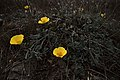 Views of poppies and other flowers overlooking Goat Rock Beach in Sonoma County 11.jpg