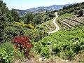 Vignoble--Cosprons--commune-de-Port-Vendres.jpg