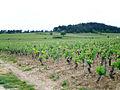 Vignoble de Mercurey 2.JPG