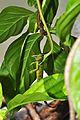 Vine snake eating iguana (9353260974).jpg