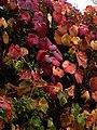 Vitis coignetiae - Flickr - peganum (1).jpg