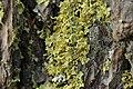Vulpicida pinastri (44465611722).jpg