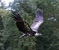 Vulture 7 (6022568688).jpg