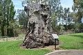 Warren Macquarie River Redgum Stump.JPG