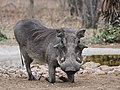 Warthog at Breakfast (30879889028).jpg