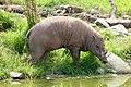 Warty pig (40619060470).jpg
