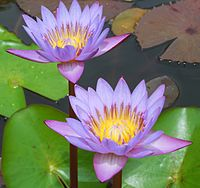 Water lily in Thiruvananthapuram.JPG
