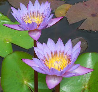 Nymphaea nouchali - Water lily in Thiruvananthapuram