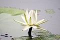 Waterlily 2246412195.jpg