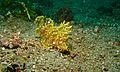 Weedy Scorpionfish (Rhinopias frondosa) (6072808203).jpg