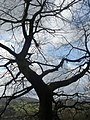 Weissmann Tree.jpg