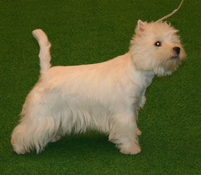 Fichier:West highland white terrier 454.jpg