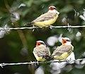 Western Kingbird (fledges and parents) (42900621604).jpg