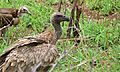 White-backed Vulture (Gyps africanus) and Hooded Vulture (Necrosyrtes monachus) (6002010506).jpg