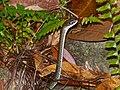 White-bellied Rat Snake (Ptyas fusca) (15677943601).jpg