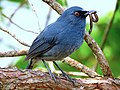 White-bellied blue robin.jpg