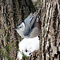 White-breasted Nuthatch (5297721622).jpg