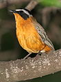White-browed robin-chat, Cossypha heuglini, at Kruger National Park, South Africa (19017664323).jpg