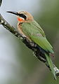White-fronted Bee-eater, Merops bullockoides, at Rietvlei Nature Reserve, Gauteng, South Africa (15428579074).jpg