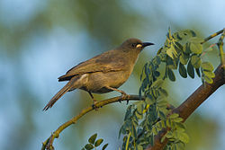 White-gaped Honeyeater - Darwin S4E3969 (22223324978).jpg