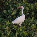 White Ibis (27122903917).jpg
