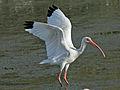 White Ibis (Eudocimus albus) RWD2.jpg
