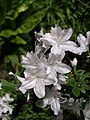 White azalea, Coleton Fishacre - geograph.org.uk - 811179.jpg