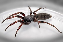White tailed spider.jpg