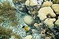 Whitespotted filefish Cantherhines macrocerus (4675208359).jpg
