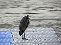 Wien - Hochwasser Juni 2013 - das Hochwasser beobachtender Graureiher.jpg