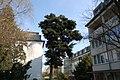 Wiener Naturdenkmal 214 - Nordmannstanne (Döbling) e.JPG