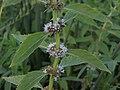 Wild mint, Mentha arvensis (16276436902).jpg