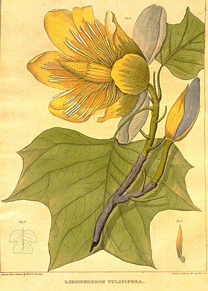 William P. C. Barton - Liriodendron tulipifera by William Barton