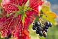 Wine grapes (22255759001).jpg