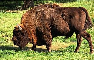 Un bisonte europeo nella foresta di Bia?owieza
