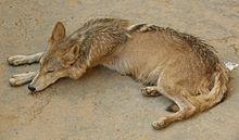 Indian wolf - Wikipedia