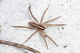 Wolf Spider - Rabidosa hentzi, Lake June-in-Winter Scrub State Park, Lake Placid, Florida - 01.jpg