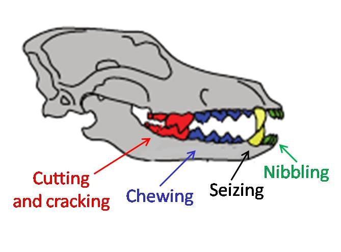 Wolf dentition in the Ice Age