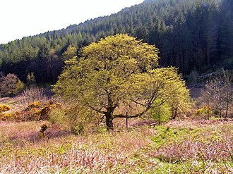 Ulmus glabra - Image: Wych Elm in Bloom geograph.org.uk 1277831