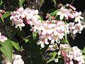 Wzwz tree 14h Kolkwitzia amabilis.jpg