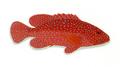XRF-Cephalopolis miniatus.png