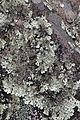 Xanthoparmelia sp. Trois Salazes 2.jpg