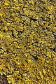 Xanthoria calcicola (40995125034).jpg
