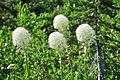 Xerophyllum tenax -Paradise, Mount Rainier, August 2014 - 05.jpg