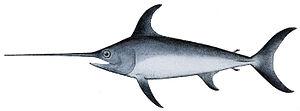 Billfish - Image: Xiphias gladius 1