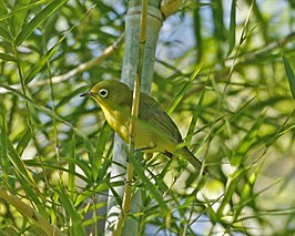 Yellow-bellied White-eye (Zosterops chloris).jpg