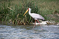 Yellow-billed stork - Queen Elizabeth National Park, Uganda-6.jpg