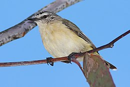 Yellow-rumped Thornbill feb08